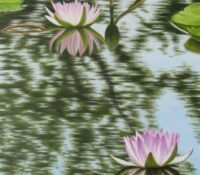 pink lilies in a pond