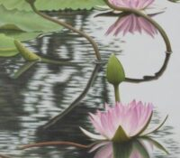 pink lilies in pond