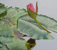 pink lotus flower in a lake