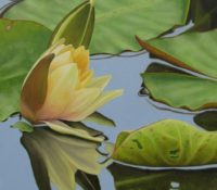 yellow lotus flower in a lake